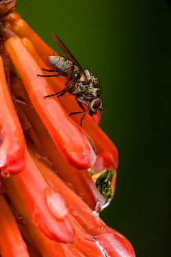 Root maggot fly (Anthomyia spp.), on red hot poker (Kniphofia spp.), native to South Africa.