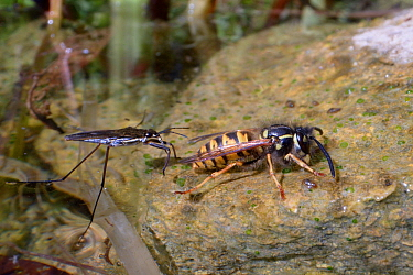 A predatory Common pond skater / Water strider (Gerris lacustris) attracted by vibrations, approaching a Common wasp (Vespula vulgaris) as it drinks water on the margins of a garden pond, Wiltshire, U...