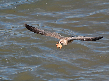Juvenile Herring gull (Larus argentatus) flying with a Common starfish (Asterias rubens) caught on a very low tide, The Gower, Wales, UK, September.