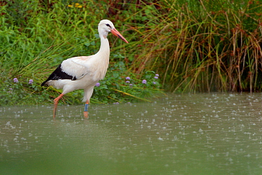 White stork (Ciconia ciconia) wading in a pond in falling rain within a large outdoor enclosure ahead of release, Knepp estate, Sussex, UK, August 2019.