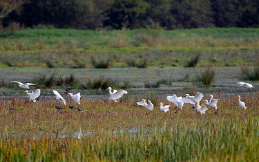 Cattle egret (Bubulcus ibis) flock landing on marshy pastureland beside a group of Lapwings (Vanellus vanellus), Somerset Levels, UK, October 2019. Cattle egrets have been wintering in the UK in incre...