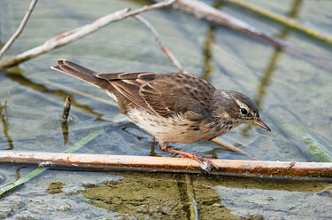 Water pipit (Anthus spinoletta) feeding amongst flotsam at the waters edge. Riet Vell Nature Reserve, Ebro Delta, Catalonia, Spain, April.