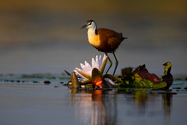 African jacana (Actophilornis africana) feeding on water lily bud, Moremi National Park, Botswana,