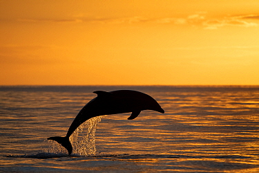 Bottlenose dolphin (Tursiops truncatus) jump at the sunset of the mouth, Sado Estuary, Arribida coast , Portugal,