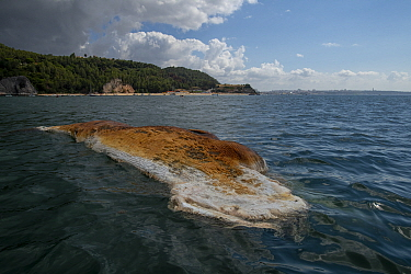 Dead whale in advanced state of decomposition, Coast of Arribida natural park, Portugal