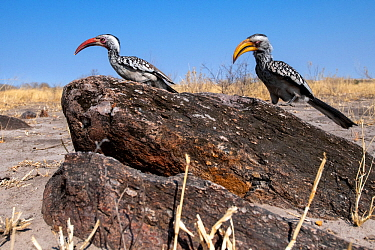 Red-billed Hornbill (Tockus erythrorhynchus), and a Southern yellow-billed hornbill (Tockus leucomelas), Moremi Game Reserve, Botswana.