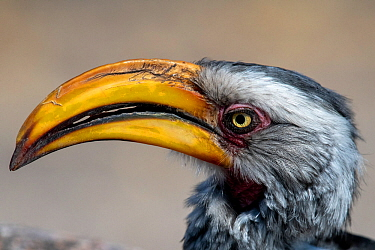 Southern yellow-billed hornbill (Tockus leucomelas) head portrait, Moremi Game Reserve, Botswana.