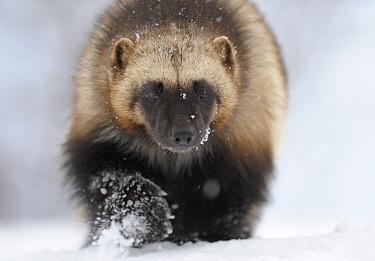 Wolverine (Gulo gulo) portrait. Kronotsky Zapovednik Nature Reserve, Kamchatka Peninsula, Russian Far East, February.