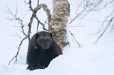 Female Wolverine (Gudo gudo) in snow, captive, Norway, February.