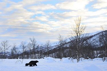 Female Wolverine (Gudo gudo) in snow covered landscape, captive, Norway, February.