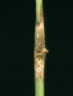 Grey mould (Botrytis cinerea) lesion with necrosis and mycelium mould growth on oilseed rape stem