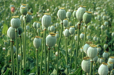 Opium poppy (Papaver somniferum) seedheads in maturing crop, France