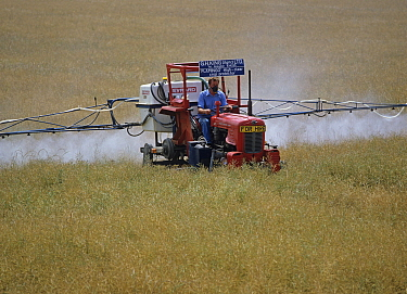 An old Massey Ferguson tractor adapted to spray in high crops spraying a dessicant onto an oilseed rape crop neaing harvest, Oxfordshire