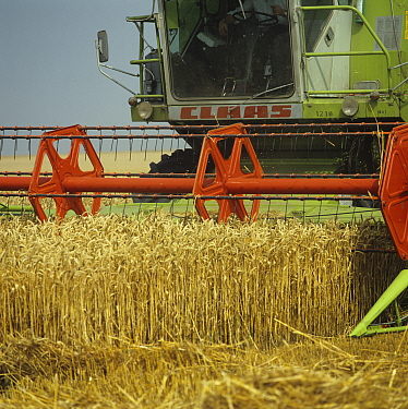Two Claas combines harvesting even good crop of ripe gokden wheat, Oxforshire, August