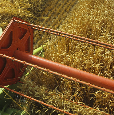 Looking down from the cab of a Claas combine at the header harvesting good ripe wheat crop, Oxfordshire