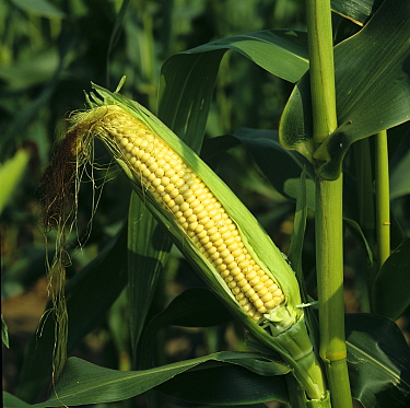 Husk taken off to show kernels of corn in a forage maize crop grown for livestock feed, Berkshire, England, UK, September