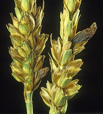 Ergot (Claviceps purpurea) ergots replacing grains in a ripening wheat ear
