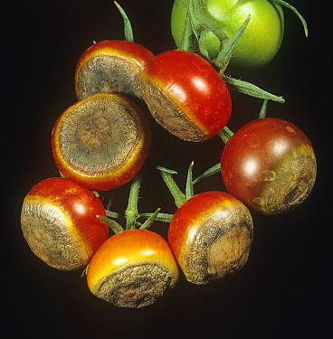 Blossom end rot caused by calcium deficiency to ripe tomato glasshouse fruit on the vines, Berkshire, England, UK.