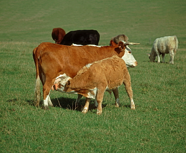 Older calf suckling milk from its mother among cows in a suckler herd grazing on a downland pasture