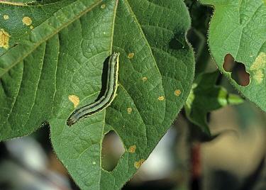 Lesser armyworm (Spodoptera exigua) caterpillar on a damaged cotton leaf, Louisiana, USA