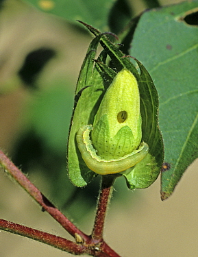 Lesser armyworm (Spodoptera exigua) caterpillar feeding on a cotton flower, bud, Louisiana, USA, October