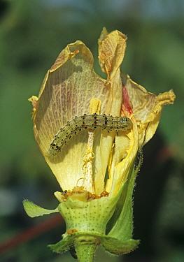 Cotton bollworm (Helicoverpa sp.) caterpillar feeding on a damaged cotton flower, Louisiana, USA