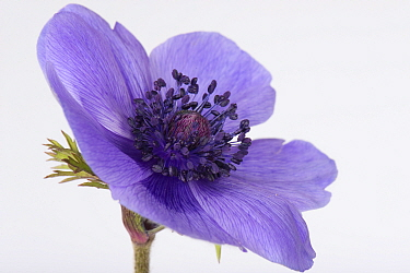 Blue flower of garden ornamental Anemone coronaria with petals, sepals, calyx, central anthers, stamens, stigma and style