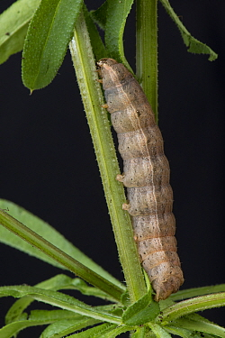 Lesser yellow underwing (Noctua comes) final instar caterpillar on cleavers (Galium aparine) a polyphagous pest and cutworm in soil. Berkshire, England, UK, April