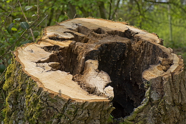Stump of an unstable, rotten, oak tree (Quercus robur) beside a road and felled for safety reasons, berkshire, April