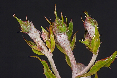 Powdery mildew, (Podosphaera pannosa) fungal disease on rose buds, Rosa 'American Pillar', Berkshire, England, UK, May
