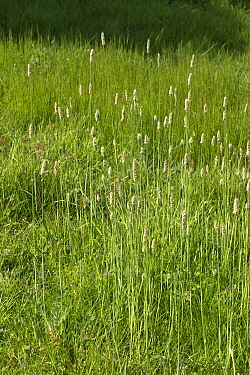 Meadow foxtail (Alopecurus pratensis) in a group in grassland, Berkshire, England, UK, May