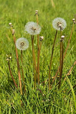 Dandelion (Taraxacum officinale) clock seedheads and stalks of dispersed seeds in grass pasture in spring, Berkshire, England, UK, May