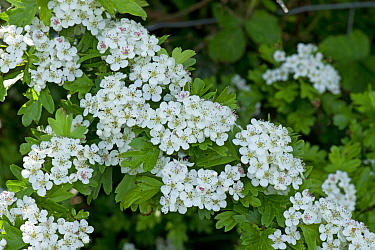 Hawthorn or May blossom (Crataegus monogyna) corymbs of white flowers with fresh green foliage, Berkshire, England, UK, May