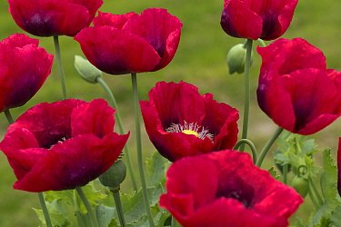 Red opium poppies (Papaver somniferum) in garden, Berkshire, England, UK, June.