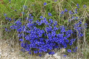 Milkwort (Polygala vulgaris) flowering bright blue beside a chalk downland path in early summer, Berkshire, England, UK, May