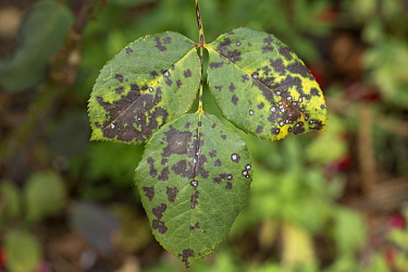 Black spot disease (Diplocarpon rosae) dark lesions on the upper surface of rose leaves in a wet summer, Berkshire, England, UK, August