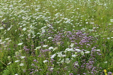 White flowering wild carrot (Daucus carota) and pink wild marjoram or oregano, (Origanum vulgare) flowering, Berkshire, England, UK, August