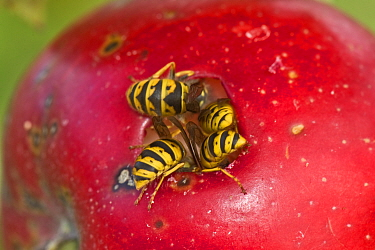 Common wasps (Vespula vulgaris) feeding through a hole in the skin on a ripe red discovery apple on the tree, Berkshire, England, UK, August