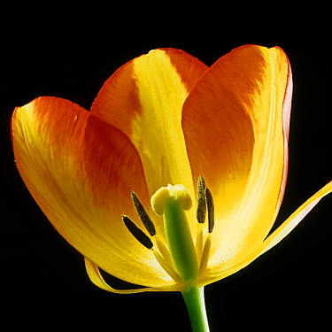 A section of a Tulip (Tulipa) flower showing its structure, red orange sepals, anthers, stamens, style, stigma and ovary