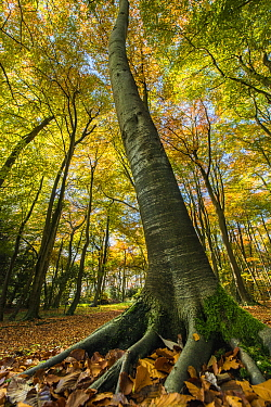 Buckholt Wood is a beech (Fagus sylvatica) wood and part of the Cotwolds Commons and Beechwoods National Nature Reserve, on the scarp slope of the Cotswolds near Birdlip, Gloucestershire