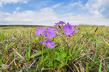 Birds eye primrose (Primula farinosa) a plant confined in Britain to the Pennines of Durham and Yorkshire and Durham's coastal limestone. Widdybank Fell, Upper Teesdale, Durham, England, UK, June.