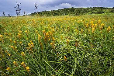 Bog asphodel (Narthecium ossifragum) growing in a bog in Upper Teesdale, County Durham, England, UK, July.