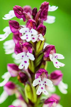 Burnt orchid (Orchis ustulata) in a lowland hay meadow, Clattinger Farm, Wiltshire, England, UK, June.