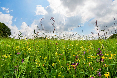Clarke's pool meadow, an unimproved lowland hay meadow managed by the Gloucestershire Wildlife Trust, dotted with Green-winged orchids (Anacamptis morio) in early spring. Gloucestershire, England,...