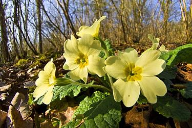 Primrose (Primula vulgaris) in Lower Woods, Gloucestershire, England, UK, March.