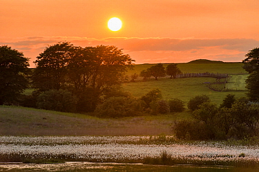 Common cottongrass (Eriophorum angustifolium) at sunset, growing in a valley bog, Mendip Hills, Somerset, England, UK, June.