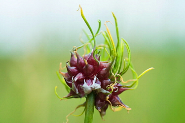 Crow garlic (Allium vineale) with bulbils germinating on the flower head. Shapwick Heath, Somerset, England, UK, July.