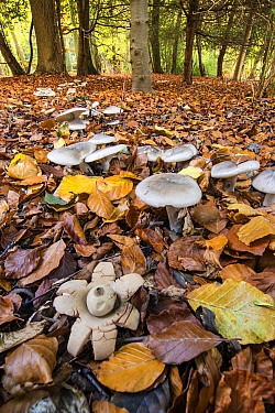 Earthstar (Geastrum sp.) and ring of toadstools (Clitocybe sp?) in beech wood, Buckholt Wood, Gloucestershire, England, UK. October.