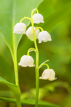Lily of the valley (Convallaria majalis) at Siccaridge Wood, Gloucestershire, England, UK, May.
