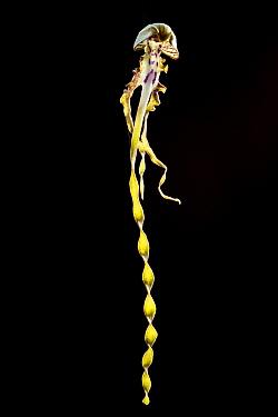 Isolated flower of lizard orchid (Himantoglossum hircinum). Cultivated specimen. June 2012